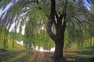 Uner A Weeping Willow