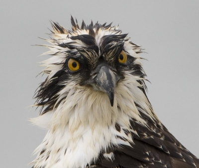 Juvenile Female Osprey