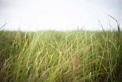Beach Grass In The Wind