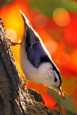 Nuthatch And Spider