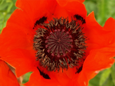 Complexity Within The Red Poppy