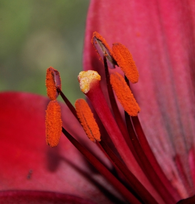 Lily Up Close