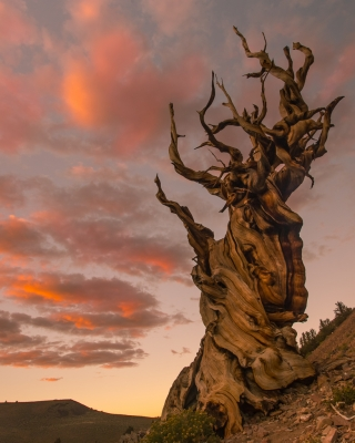 Ancient Bristlecone Sunset, White Mountains