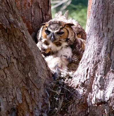 Great Horned Owl With Recently Born Owlet #2