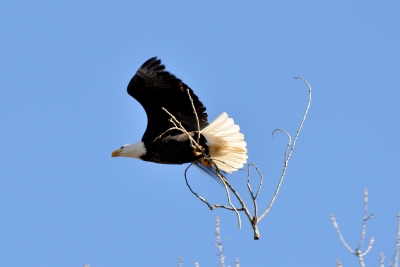 Liberty Carries Sticks To Her Nest