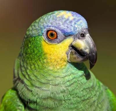Orange-winged Amazon Parrot Portrait