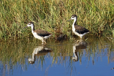 Young Black Necked Stilts