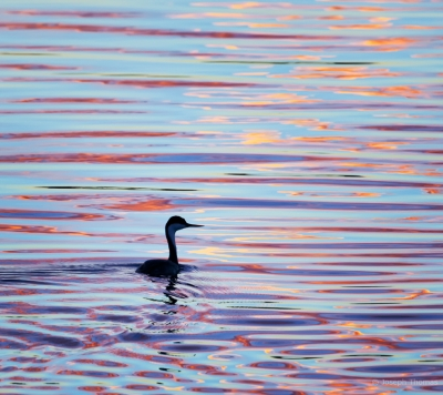 Western Grebe In Sunset Reflection