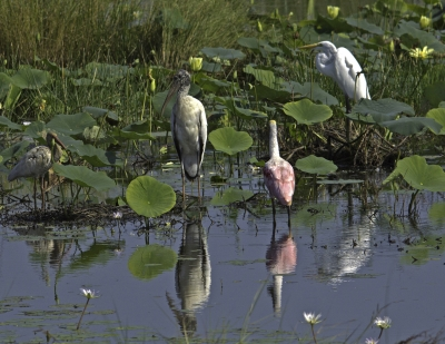 White-faced Ibis, Wood Stork, Roseate Spoonbill, Great Egret