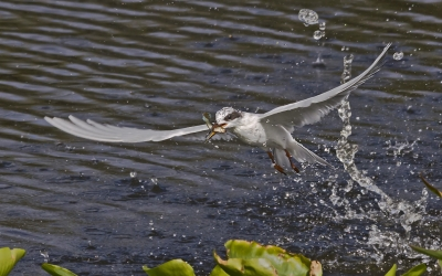 Forsters Tern Catches Minnow