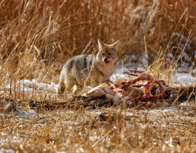 Coyote Eating Bison Carcass
