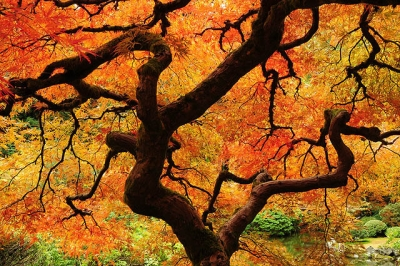 Iconic Japanese Maple Tree