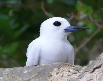 A White Tern On Lord Howe Island