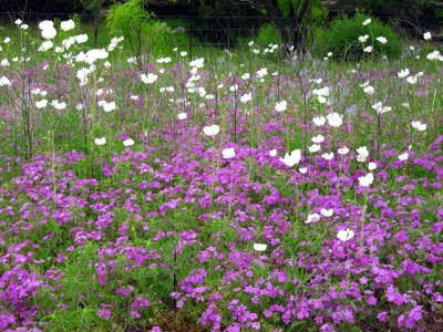 Prickely Poppies And Creeping Phlox