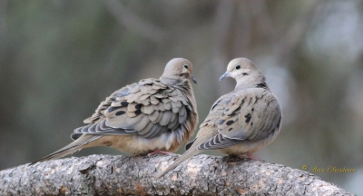 Mourning Dove Love