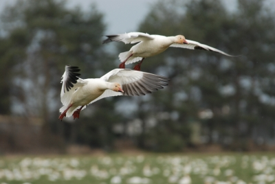 Snow Geese In Stanwood # 3