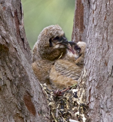 1 Month Old Great Horned Owl Chicks Playing In The Nest