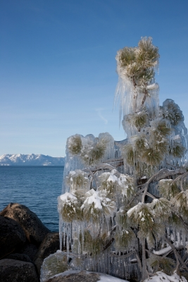 Icy Tree At Lake Tahoe