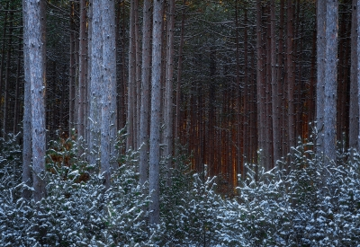 Light In The Pines