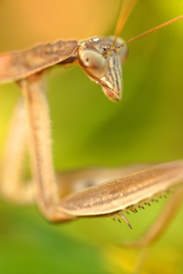 Praying Mantis Close-up