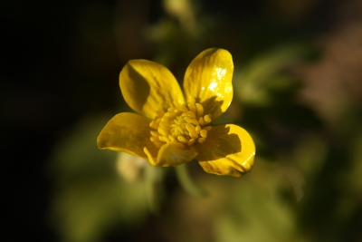 A Buttercup In The Late Afternoon