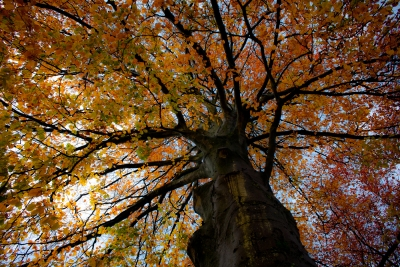 Beech Tree In Autumn