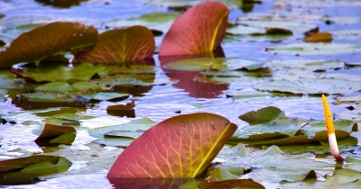 Blowing Lily Pads