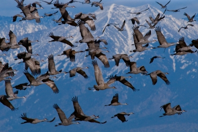 Sandhill Cranes Take Flight