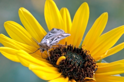 Moth On Sunflower