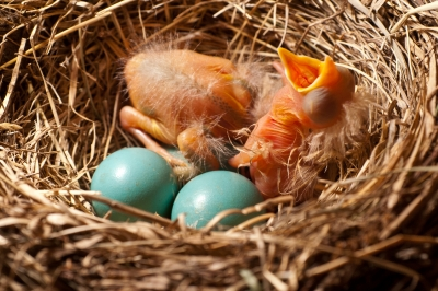 Just Hatched Robins