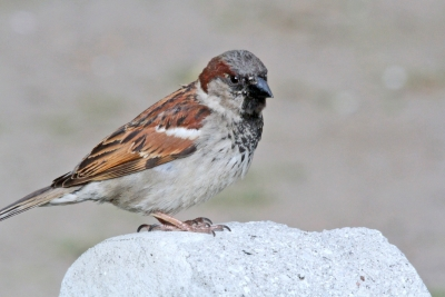 Mighty Sparrow