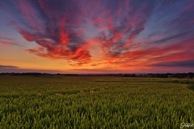 English Barley Field Sunset