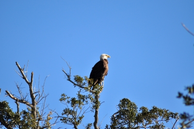Perched Eagle