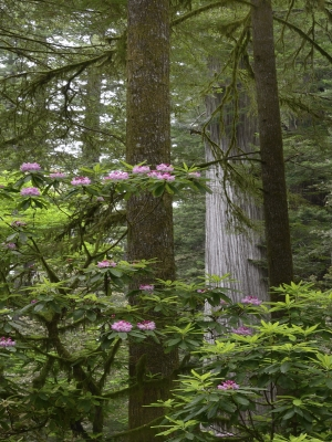 Stout Grove Rhododendrons