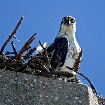 Osprey In The Nest