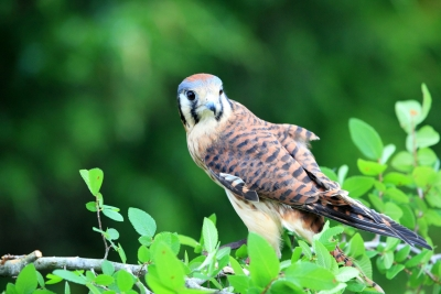 Male Kestrel Falcon