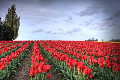 Red Tulips In The Skagit Valley
