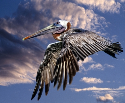 Pelican On A Cloudy Day