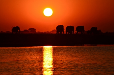 Elephants At Sunset On The Chobe River