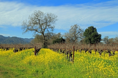 Napa Valley Vineyards And Mustards