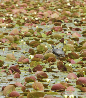 Painted Turtle In Lily Pond