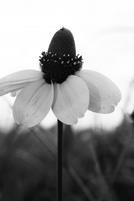 Cone Flower In Living Black And White