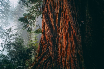 Within The Mighty Redwood Forest