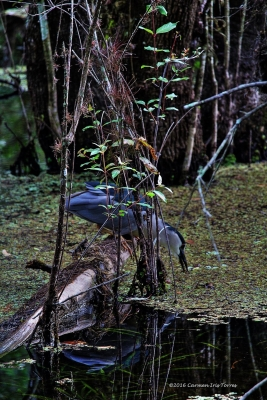 Black Night Heron