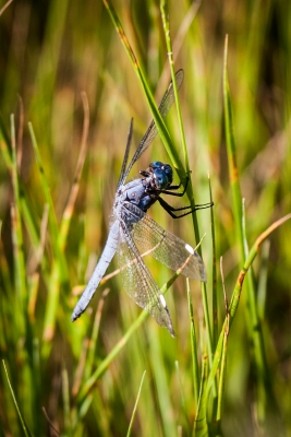 Blue Dragonfly In Tall Grass