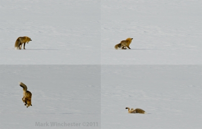 Red Fox Mousing In Yellowstone Np