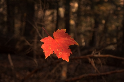 Falling Maple Leaf