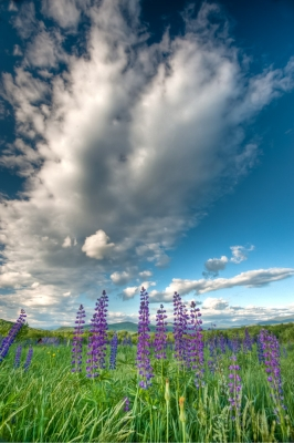 Lupines On Sugar Hill