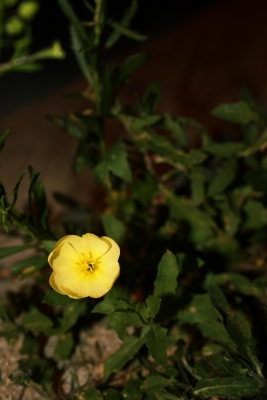 A Buttercup At Night