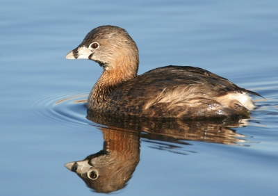 Pied-billed Grebe At Montezuma National Wildlife Refuge, Ny